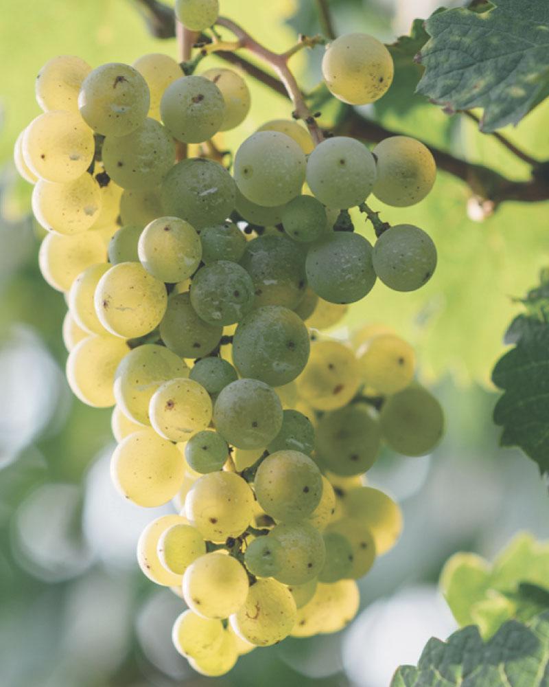 uva-prosecco-bellussera